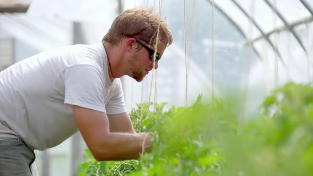 ms slo mo shot of young farmer tends to plants in green/hoop house organic farm / chatham, michigan, united states - pruning shears stock videos & royalty-free footage