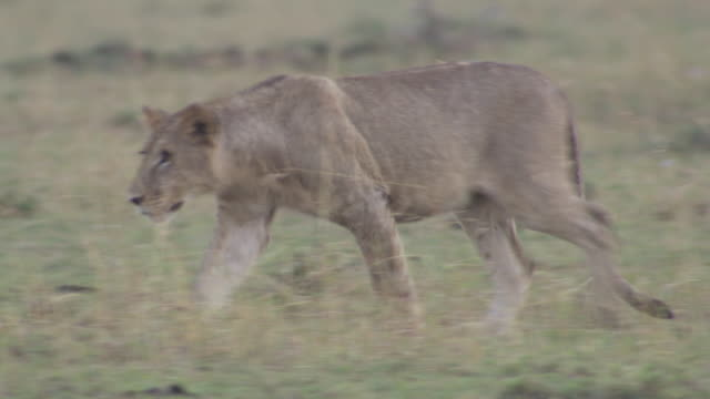 stockvideo's en b-roll-footage met ms ts shot of young lions playing with each other / tanzania - kleine groep dieren