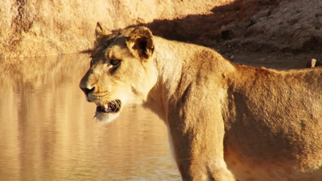 ms shot of young male lion / kruger national park, mpumalanga, south africa - provinz mpumalanga stock-videos und b-roll-filmmaterial