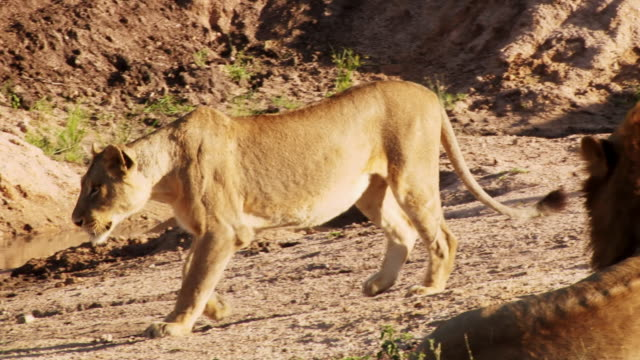 ms pan shot of young male lion walking / kruger national park, mpumalanga, south africa - provinz mpumalanga stock-videos und b-roll-filmmaterial