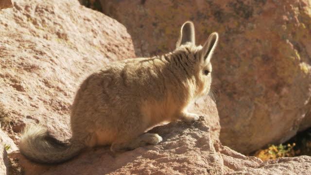 CU Shot of young Viscacha, Lagidium viscacia hopping about on rocks in high Andes mountains / San Pedro de Atacama, Norte Grande, Chile
