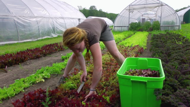 MS SLO MO TD Shot of young woman as she cuts fresh lettuce vegetables at organic farm / Chatham, Michigan, United States