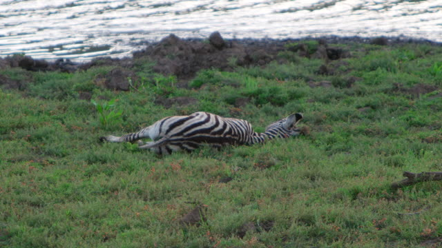 MS Shot of  young Zebra with a broken leg lies down after giving in to the pain, It died right there / Pilanesberg, Gauteng, South Africa