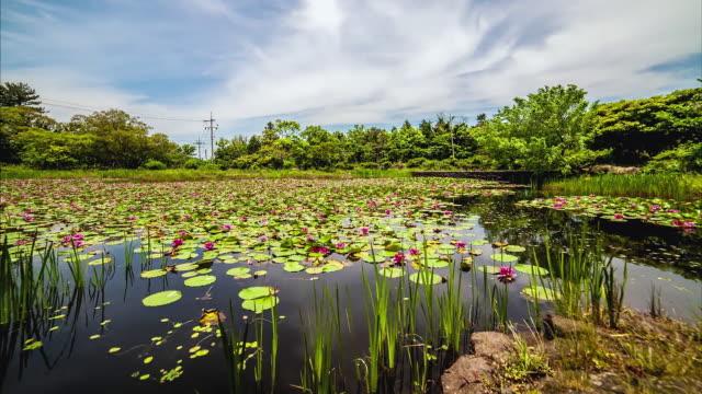ms t/l pan shot of yronhwaji lake with lotus blossom / jeju, jeju-do, south korea - lily stock videos & royalty-free footage