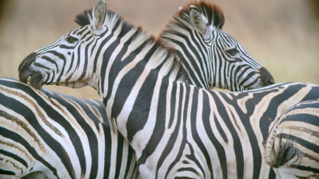 CU Shot of Zebra (Equus quagga) cleaning each other / Kruger National Park, Mpumalanga, South Africa