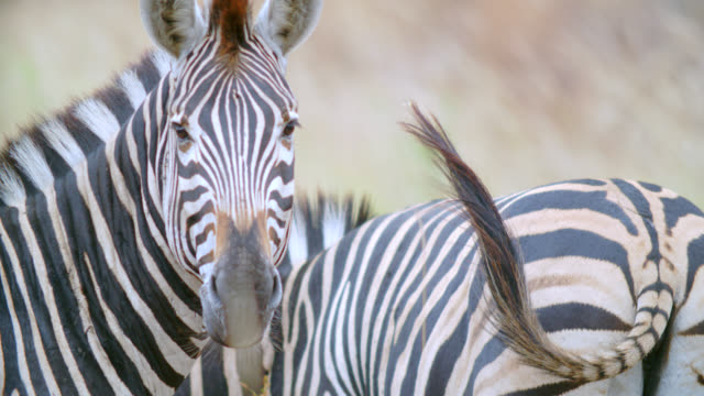 cu ts shot of zebra (equus quagga) in savannah / kruger national park, mpumalanga, south africa - small group of animals stock videos & royalty-free footage