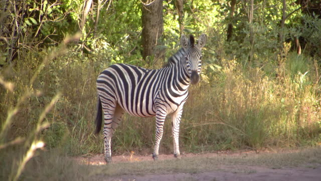 MS Shot of Zebra, other zebra walking past it, Entabeni Game Reserve / Limpopo, South Africa