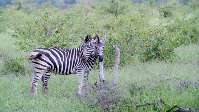 ms shot of zebra (equus quagga) standing in savannah / kruger national park, mpumalanga, south africa - provinz mpumalanga stock-videos und b-roll-filmmaterial