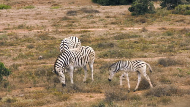 ms pan shot of zebras eating on grass / the karoo, south africa - karoo bildbanksvideor och videomaterial från bakom kulisserna