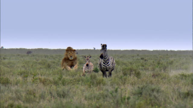 vidéos et rushes de shot of zebras running away from lion - chasser