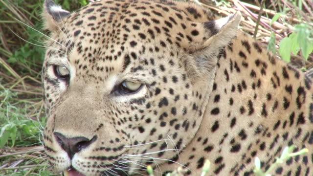 cu ts shot ofmale leopard licking jaws  / kruger national park, mpumalanga, south africa - morrhår bildbanksvideor och videomaterial från bakom kulisserna