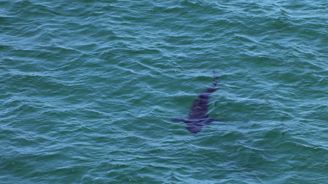 vídeos y material grabado en eventos de stock de ms aerial zo shot over basking sharks cetorhinus maximus near island on west coast of gunna in distance / isle or island of coll, argyll and bute, scotland - peregrino
