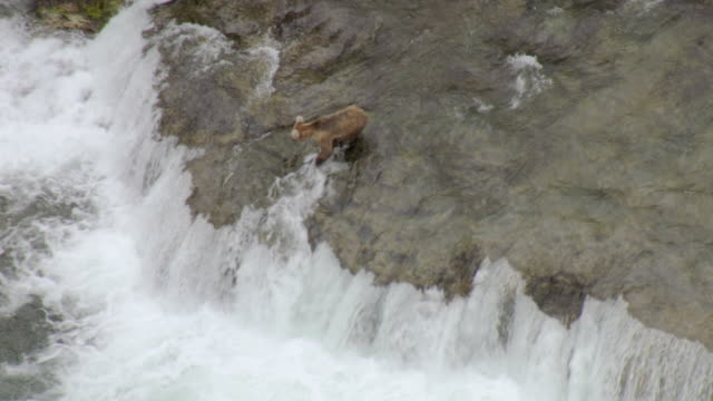 ms aerial shot over bear fishing for salmon at brooks falls and salmon jumps to attempt to clear falls / alaska, united states - salmon stock videos & royalty-free footage