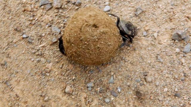 vídeos y material grabado en eventos de stock de cu shot over dung beetle rolling dung and another dung beetle / western cape, south africa - cabo winelands