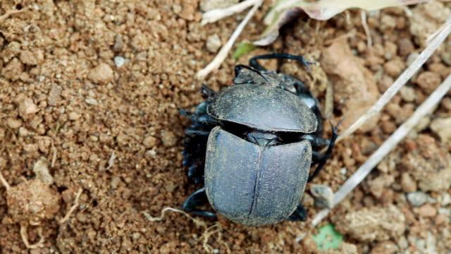 vídeos y material grabado en eventos de stock de cu shot over dung beetles fighting in sand / western cape, south africa - cabo winelands