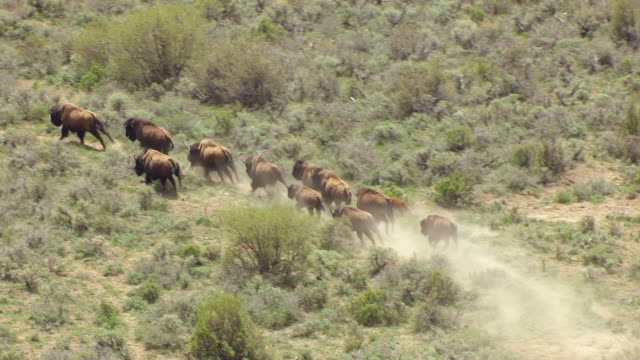 ms aerial ts shot over running bison in bush in colorado plateau en route from desolation canyon to buffalo / utah, united states - american bison stock videos & royalty-free footage