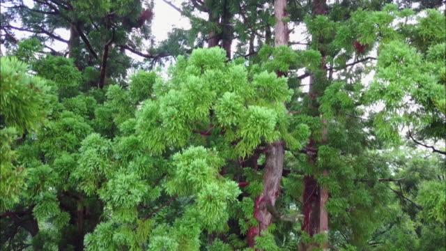 shot taken by drone; japanese red-cedars in the mt. tateyama region, toyama, japan. - cedar stock videos & royalty-free footage