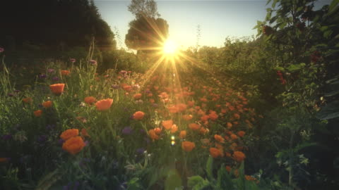 ms pov shot through field of flowers at sunset / langlois, oregon, united states - blomrabatt bildbanksvideor och videomaterial från bakom kulisserna