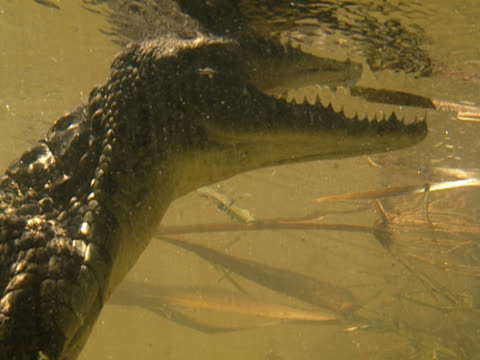 Shot underwater, a crocodile holds itself still, head up and body hanging downwards. Its mouth is agape, part of the upper jaw disappearing through to the surface above. South Africa.