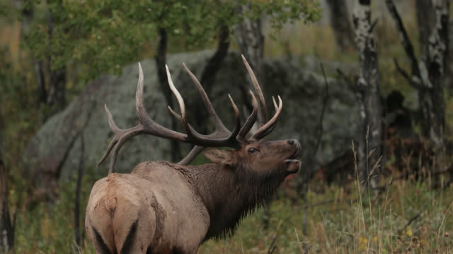 vídeos de stock e filmes b-roll de ms 4k shot with sound of a huge bull elk or wapiti (cervus canadensis) bugling at sunrise - veado