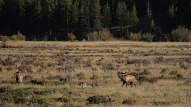 ws 4k shot with sound of a huge bull elk or wapiti (cervus canadensis) bugling at sunrise - bull animal stock videos & royalty-free footage