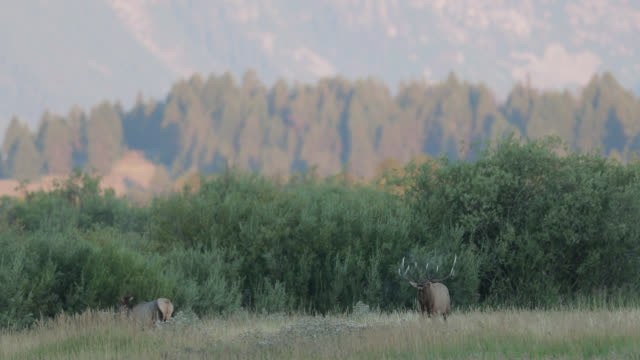 ws 4k shot with sound of a huge bull elk or wapiti (cervus canadensis) bugling at sunrise - antler stock videos & royalty-free footage
