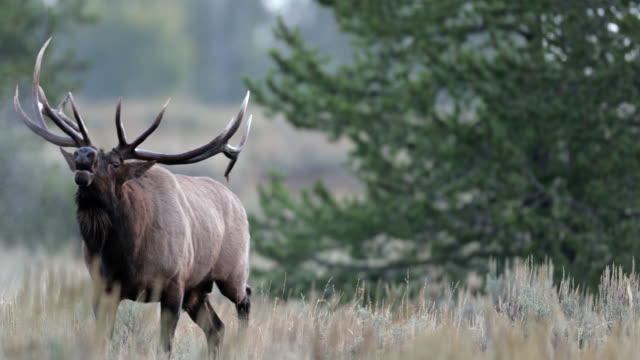 ms 4k shot with sound of a huge bull elk or wapiti (cervus canadensis) bugling at sunrise - bull animal stock videos & royalty-free footage