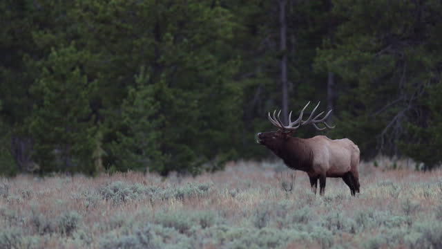 ws 4k shot with sound of a huge bull elk or wapiti (cervus canadensis) bugling at sunset - bull animal stock videos & royalty-free footage