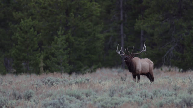 ws 4k shot with sound of a huge bull elk or wapiti (cervus canadensis) bugling at sunset - wilderness stock videos & royalty-free footage