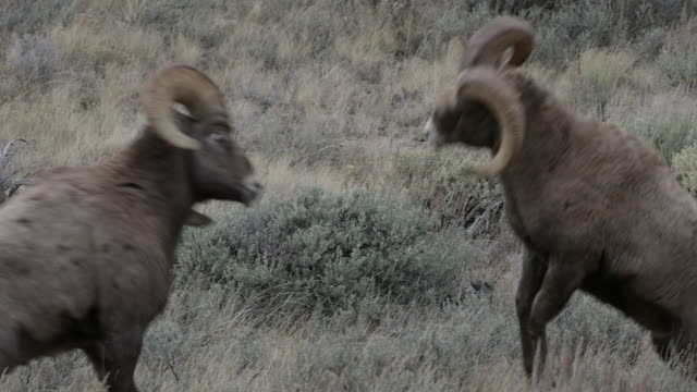 ms 4k shot with sound, of bighorn rams (ovis canadensis) butting heads during the rut - horned stock videos & royalty-free footage