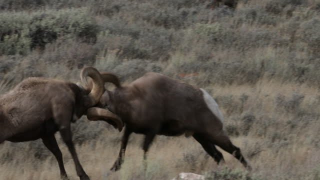 vídeos de stock, filmes e b-roll de ms 4k shot with sound, of bighorn rams (ovis canadensis) butting heads during the rut - animal