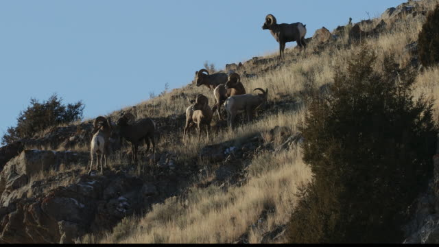 WS  4K shot with sound of bighorn rams (Ovis canadensis) butting heads on a cliff at sunset