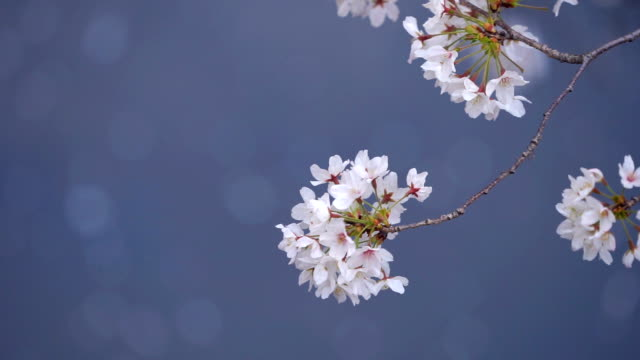 2 skott Cherry Blossoms blåst i vinden. Meguro, Tokyo, Japan
