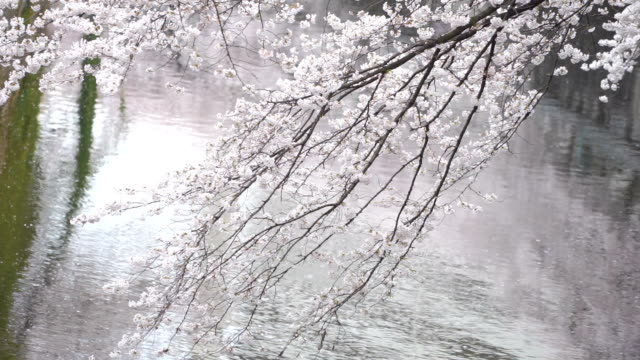 2 shots cherry blossoms branch blown in wind inwaseda, tokyo, japan - kanto region stock videos and b-roll footage