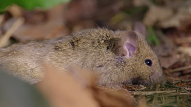 shots of a field mouse paralyzed from viper venom in the dmz (demilitarized zone between south and north korea), goseong-gun - rodent stock videos & royalty-free footage