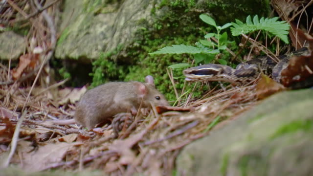 shots of a pit viper attacking a field mouse in the dmz (demilitarized zone between south and north korea), goseong-gun - ヘビ点の映像素材/bロール