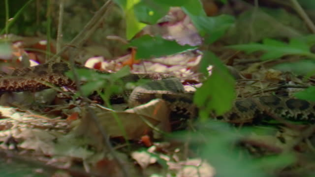 shots of a pit viper in the forest inside the dmz (demilitarized zone between south and north korea), goseong-gun - scaly stock videos & royalty-free footage