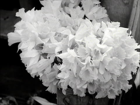 shots of bunches of daffodils tulips and forget-me-nots. 1953 - ワスレナグサ点の映像素材/bロール
