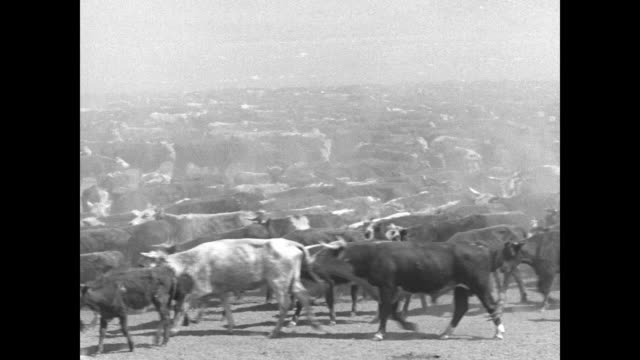 shots of cowboys working a herd of cattle during cattle drive / note: exact year not known - cattle drive stock videos & royalty-free footage