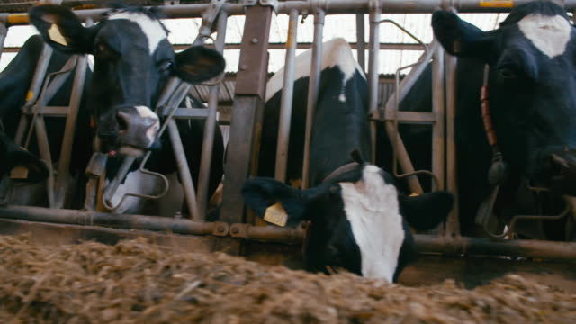 shots of cows in a barn - barn stock videos & royalty-free footage