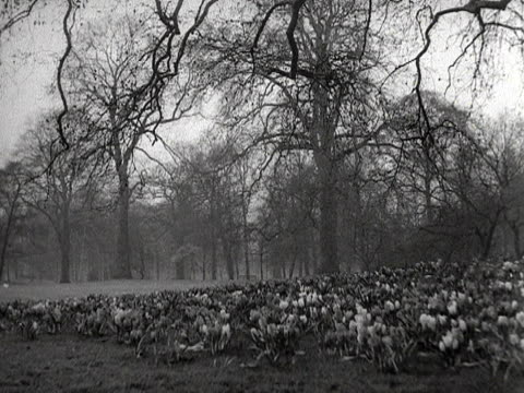 vidéos et rushes de shots of crocus flowers blooming in a park. 1953. - arbre sans feuillage