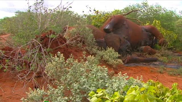 Shots of dead elephants killed by poachers in the Tsavo National Park in Kenya