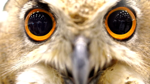 3 shots of eurasian owl - magnification stock videos & royalty-free footage