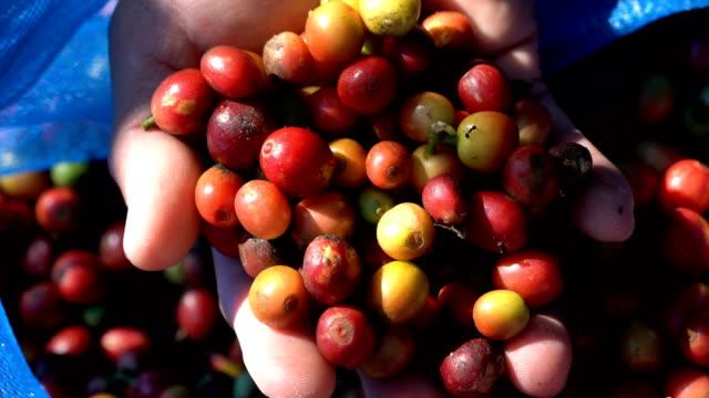 2 tiros de agricultor mão mostrando sementes de feijão de fruta café cru
