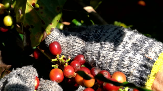 2 shots of farmer hands collecting farm coffee beans. - bean stock videos & royalty-free footage