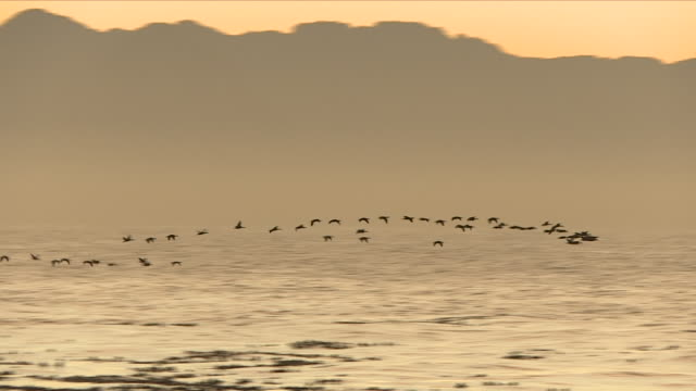 shots of flock of birds flying over the water in early morning - stormo di uccelli video stock e b–roll