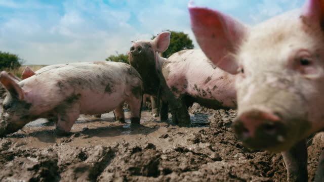 stockvideo's en b-roll-footage met shots of pigs playing in mud - varken