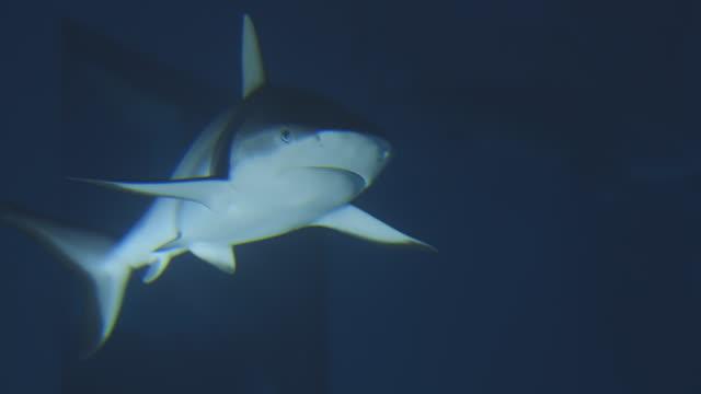 MS Shots of Sharks swimming in aquarium / London, London, United Kingdom