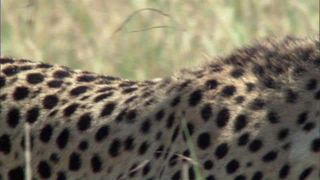 Shoulder blades of prowling cheetah (Acinonyx jubatus) on savannah, Masai Mara, Kenya