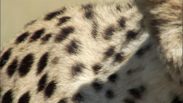 shoulder blades of prowling cheetah (acinonyx jubatus) on savannah, masai mara, kenya - animal hair stock-videos und b-roll-filmmaterial